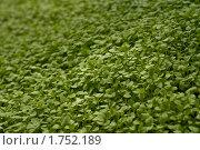Трава мокрица, фото № 1752189, снято 26 апреля 2010 г. (c) Юрий Бельмесов / Фотобанк Лори
