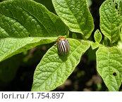 Колорадский жук на листе картофеля. Стоковое фото, фотограф Анатолий Вороничев / Фотобанк Лори