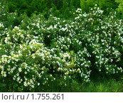 Купить «Цветение шиповника», фото № 1755261, снято 2 июня 2010 г. (c) Золотовская Любовь / Фотобанк Лори