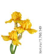 Купить «Желтые ирисы на белом фоне с каплями росы», фото № 1760149, снято 29 мая 2010 г. (c) Наталья Волкова / Фотобанк Лори