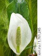 Лизихитон камчатский (Lysichiton camtschatcense (L.) Schott), фото № 1761245, снято 5 июня 2010 г. (c) Ирина Игумнова / Фотобанк Лори