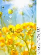 Лютики. Стоковое фото, фотограф Екатерина Тарасенкова / Фотобанк Лори