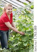 Купить «Женщина собирает урожай огурцов», фото № 1763389, снято 4 июля 2009 г. (c) Майя Крученкова / Фотобанк Лори