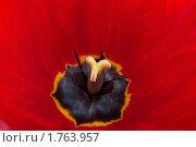 Цветущий тюльпан. Стоковое фото, фотограф Владимир Соловьев / Фотобанк Лори