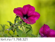 Малиновый цветок. Стоковое фото, фотограф Турищева Оксана / Фотобанк Лори