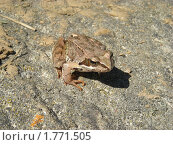 Лягушка на земле. Стоковое фото, фотограф Анатолий Вороничев / Фотобанк Лори
