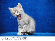 Купить «Котенок кричит на синем фоне», фото № 1772081, снято 22 апреля 2010 г. (c) Арестов Андрей Павлович / Фотобанк Лори