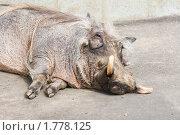 Бородавочник. Стоковое фото, фотограф Чехарина Анна / Фотобанк Лори