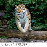 Купить «Амурский (уссурийский) тигр», фото № 1779397, снято 17 июня 2010 г. (c) Михаил Борсов / Фотобанк Лори