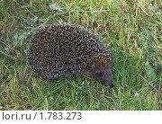 Купить «ЁЖ (Erinaceus europaeus)», фото № 1783273, снято 19 июня 2010 г. (c) Александр Шилин / Фотобанк Лори