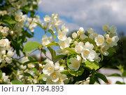 Купить «Цветущий жасмин», фото № 1784893, снято 19 июня 2010 г. (c) Солнечный фотограф / Фотобанк Лори