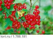 Купить «Красная смородина. (Ribes rubrum)», эксклюзивное фото № 1788181, снято 17 июля 2009 г. (c) Алёшина Оксана / Фотобанк Лори