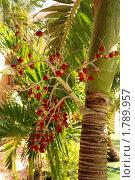 Купить «Плоды пальмы», фото № 1789957, снято 1 января 2010 г. (c) Лифанцева Елена / Фотобанк Лори