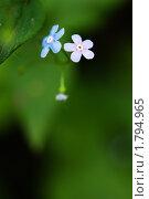 Два маленьких цветка. Стоковое фото, фотограф Мария Калиниченко / Фотобанк Лори