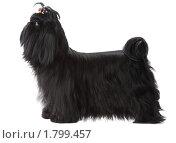 Купить «Портрет собаки породы Ши-тцу», фото № 1799457, снято 25 апреля 2010 г. (c) Станислав Толубаев / Фотобанк Лори