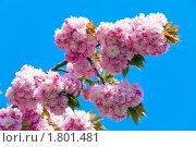 Купить «Цветение сакуры», фото № 1801481, снято 24 апреля 2010 г. (c) Юрий Брыкайло / Фотобанк Лори