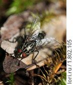 Купить «Красноглазая мясная черная муха», фото № 1802105, снято 27 июня 2010 г. (c) Мишурова Виктория / Фотобанк Лори