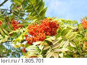 Купить «Ветка рябины с ягодами на фоне голубого неба», фото № 1805701, снято 25 сентября 2009 г. (c) Татьяна Кахилл / Фотобанк Лори