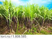 Купить «Сахарный тростник», фото № 1808585, снято 28 июня 2010 г. (c) Ольга Хорошунова / Фотобанк Лори