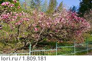 Купить «Цветущая розовая магнолия», фото № 1809181, снято 2 мая 2010 г. (c) ИВА Афонская / Фотобанк Лори