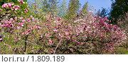 Купить «Цветущая розовая магнолия», фото № 1809189, снято 2 мая 2010 г. (c) ИВА Афонская / Фотобанк Лори