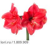 Купить «Цветок амариллиса», фото № 1809909, снято 3 июня 2010 г. (c) Алексас Кведорас / Фотобанк Лори