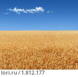 Купить «Пшеница созрела», фото № 1812177, снято 18 июня 2010 г. (c) Бондарь Александр Николаевич / Фотобанк Лори
