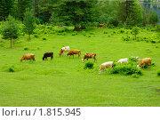 Коровы пасутся на лугу у горы. Стоковое фото, фотограф Андрей Дегтярев / Фотобанк Лори