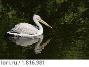 Купить «Пеликан розовый, Pelecanus onocrotalus», фото № 1816981, снято 2 июля 2010 г. (c) Михаил Борсов / Фотобанк Лори