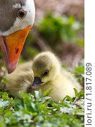 Купить «Гусь», фото № 1817089, снято 13 мая 2010 г. (c) Василий Вишневский / Фотобанк Лори