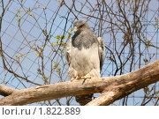 Купить «Хищная красивая птица агуйя на ветви дерева в вольере», фото № 1822889, снято 8 мая 2010 г. (c) Щеголева Ольга / Фотобанк Лори