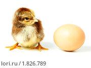 Купить «Цыпленок и яйцо», фото № 1826789, снято 15 мая 2010 г. (c) Василий Вишневский / Фотобанк Лори