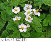 Белые цветы земляники. Стоковое фото, фотограф lana1501 / Фотобанк Лори