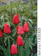 Красные тюльпаны с каплями воды. Стоковое фото, фотограф Savenkova Natalia Anatolievna / Фотобанк Лори