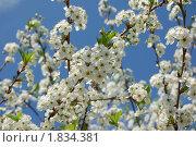 Цветение вишни. Стоковое фото, фотограф nikolay uralev / Фотобанк Лори
