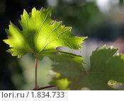 Купить «Лист винограда», фото № 1834733, снято 12 июля 2010 г. (c) Сергей Девяткин / Фотобанк Лори