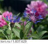 Синие васильки на фоне розовых пионов. Стоковое фото, фотограф Валентин Никитин / Фотобанк Лори
