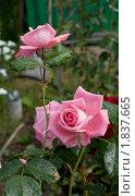 Цветок розы с капельками воды на лепестках и на листьях. Стоковое фото, фотограф Валентин Никитин / Фотобанк Лори