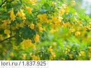 Цветущая желтая акация. Стоковое фото, фотограф Куликова Татьяна / Фотобанк Лори