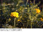 Купить «Бархотки ( тагетес)», фото № 1841681, снято 13 июля 2010 г. (c) Владимир Макеев / Фотобанк Лори