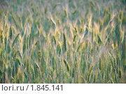 Купить «Рожь посевная (Secale cereale)», фото № 1845141, снято 5 июля 2010 г. (c) Алёшина Оксана / Фотобанк Лори