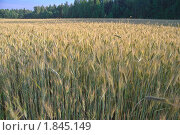 Купить «Рожь посевная (Secale cereale)», фото № 1845149, снято 5 июля 2010 г. (c) Алёшина Оксана / Фотобанк Лори