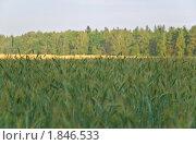 Купить «Рожь посевная в тени (Secale cereale)», фото № 1846533, снято 5 июля 2010 г. (c) Алёшина Оксана / Фотобанк Лори