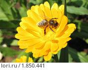 Пчёлка на цветке. Стоковое фото, фотограф Вересов Сергей Николаевич / Фотобанк Лори