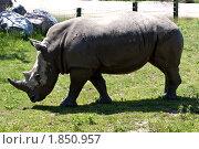 Купить «Носорог пасется на траве», фото № 1850957, снято 19 мая 2010 г. (c) Марина Михайлова / Фотобанк Лори