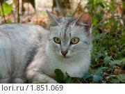 Кошка серая - внимательный взгляд. Стоковое фото, фотограф Jumbo / Фотобанк Лори