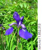Купить «Ирис», эксклюзивное фото № 1852313, снято 10 июня 2010 г. (c) lana1501 / Фотобанк Лори