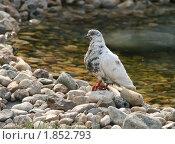 Купить «Белый голубь на камнях у воды», эксклюзивное фото № 1852793, снято 7 июля 2010 г. (c) Щеголева Ольга / Фотобанк Лори