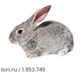 Купить «Кролик домашний», фото № 1853749, снято 6 мая 2010 г. (c) Василий Вишневский / Фотобанк Лори