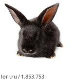 Купить «Кролик домашний», фото № 1853753, снято 19 мая 2010 г. (c) Василий Вишневский / Фотобанк Лори